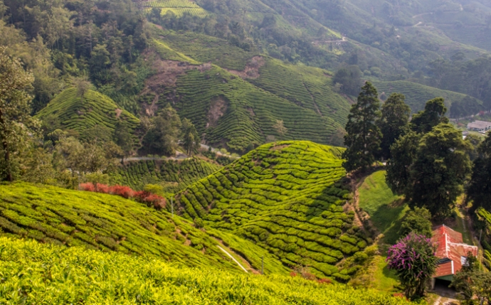 The view from the top of the Boh Tea Estate