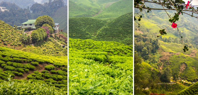 Impressions from the Cameron Highlands