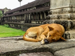 Sleeping dog at Angkor Wat