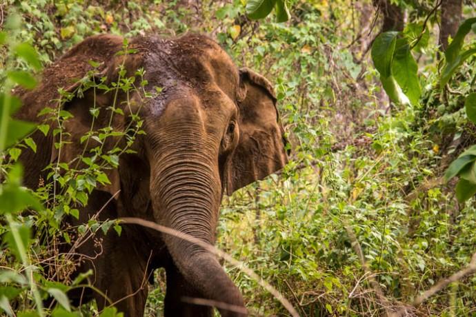 Trekking Mondulkiri-Wild Elephant