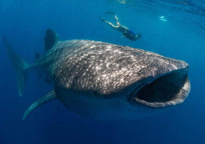 Cancun Whalesharks