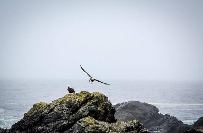 Bald eagles tofino